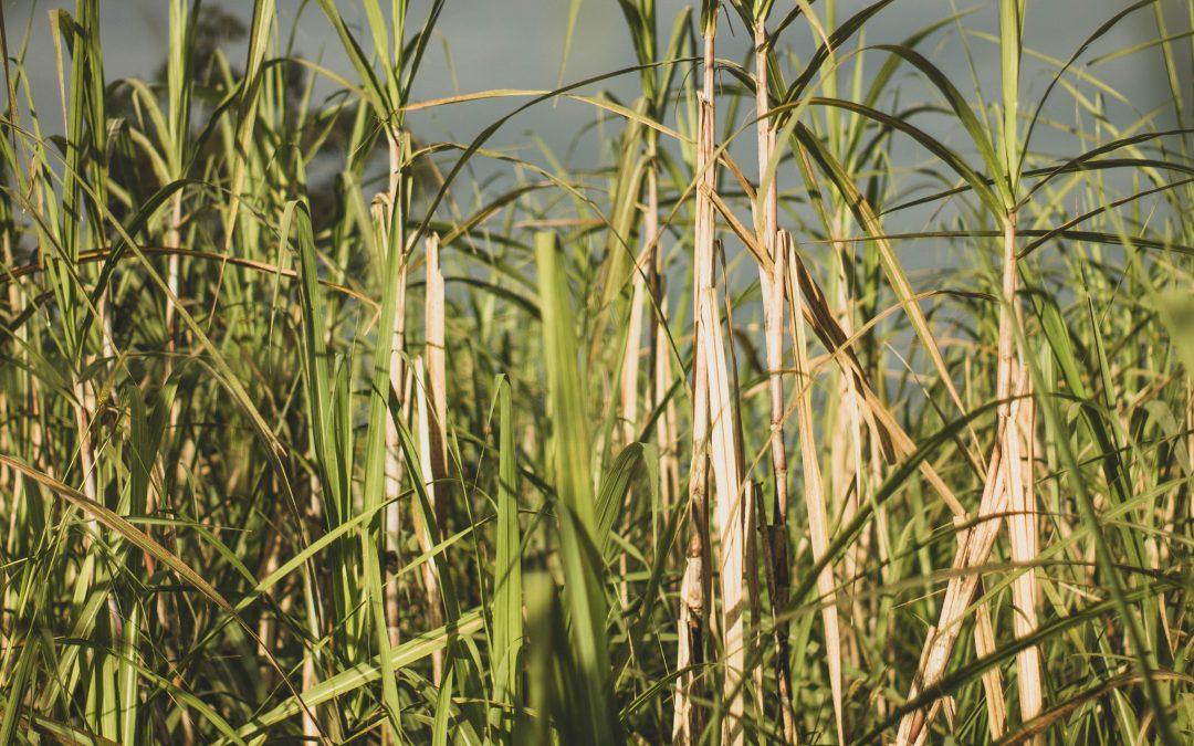 4 informações surpreendentes sobre a cana-de-açúcar, matéria-prima da cachaça